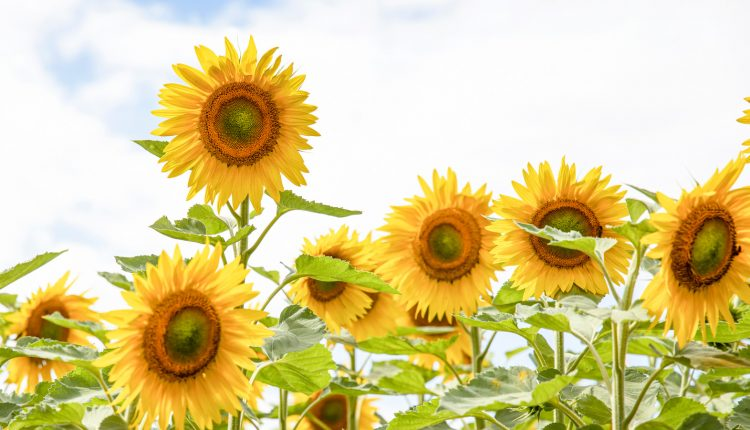 The Truth About TikTok's Grilled Sunflower Trend